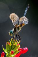 A Hot Blue Dasher