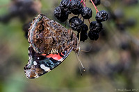Red Admiral on berries